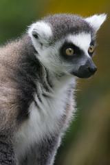 Lemure allo Zoo (Nicola Franzoso Naio) Tags: canon 500mm canon550d sigma150500mm zoo animali puntaverde lignano