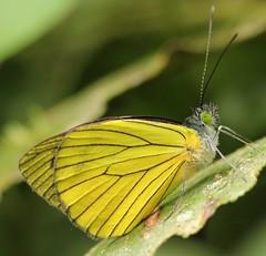 Leptophobia caesia (Birdernaturalist) Tags: buenaventura butterfly ecuador eloro jocotococonservationfoundation pieridae pierinae pierini richhoyer