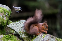Attack of the tit (alanrharris53) Tags: red sqirrel yorkshire dales hawes woodland tit coal attack nuts