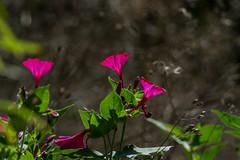 Crimson Light (Shastajak) Tags: flowers bokeh hbw