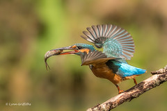 Kingfisher (Alcedo atthis) D50_3745.jpg (Mobile Lynn) Tags: people birds wild petewhieldon watermarked kingfisher nature aves bird chordata coraciiformes face faces fauna wildlife otterbourne england unitedkingdom gb coth specanimal greatphotographer ngc coth5 sunrays5 npc