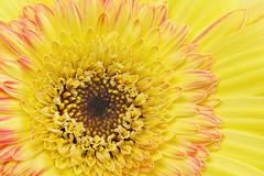 Yellow and Pink Daisy (Sandyp.com) Tags: gerberadaisy daisy yellow flower macro topazsoftware sonyalpha sonya7rii heliconfocus photostacked focusstacked