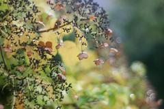 Goldener Herbst (Magreen2) Tags: primoplan5819 bokeh goldenyellow gelb leuchtend colours light licht farben hortensie hortensia leave blatt bltenblatt
