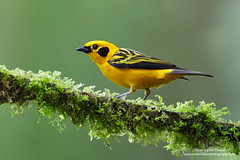 Golden Tanager, Ecuador (www.juancarlosvindasphoto.com) Tags: juancarlosvindas nature wildlife landscape frog amphibian birds birdphotography photographer photos pictures stock fulllength nobody frontalview sideview outdoors mammals endemic reptiles portraitmode portrait large small aves colibries colibris hummingbird canon multiflash gear tropical rainforest cloudforest tropicaldryforest protected workshop tour expedition unique cute waterfall green forest poisonous rightsmanaged rm getty treefrog leaffrog landscapes ecuador distinctive endangered animalsinthewild birdwatching biology biodiversity multicolored animal toucan wildanimals tropicalbirds neotropicwildlife neotropicbirds goldentanager tangaraarthus southamerica