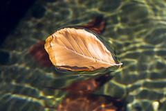 Floating leave (on Explore) (Jan van der Wolf) Tags: map13147v leave blad herfst herfstblad water floating drijven caustics autumn fall