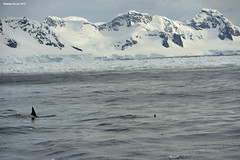 Orcas in Gerlache Strait (naturalturn) Tags: orca ice glacier mountain mountains snow gerlachestrait gerlache strait antarctica image:rating=5 image:id=190402