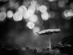Champignons aux bulles. (steph20_2) Tags: panasonic gh3 m43 45mm lumix champignon mushroom macro closeup automne autumn monochrome monochrom noir noiretblanc ngc neige white blanc black bw skanchelli bokeh