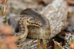 female smooth snake (Coronella austriaca) (willjatkins) Tags: snakes snake snakesofeurope smoothsnake coronellaaustriaca coronella ukwildlife uksnakes ukreptilesandamphibians ukreptiles ukamphibiansandreptiles ukherpetofauna britishwildlife britishamphibiansandreptiles britishreptilesandamphibians britishreptiles britishsnakes dorsetwildlife dorsetreptiles dorsetsnakes purbeckwildlife purbeckreptiles heathlandwildlife heathlandreptiles protectedwildlife protectedspecies rarewildlife rarespecies macro macrowildlife closeupwildlife closeup nikond7100 sigma105mm