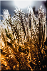 Backlit Miscanthus (Boba Fett3) Tags: grass lensbaby doubleglasselement splittone backlit
