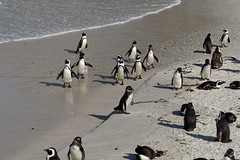 Penguins (coldfish88) Tags: penguins southafrica capetown africananimals wildlife beach bird coldwater