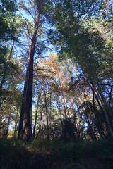 Troodos Geopark (29) (Polis Poliviou) Tags: polispoliviou polis poliviou   cyprus cyprustheallyearroundisland cyprusinyourheart yearroundisland zypern republicofcyprus  cipro  chypre   chipir chipre  kipras ciprus cypr  cypern kypr  sayprus kypros polispoliviou2016 troodosgeopark troodos mediterranean nicosia valley life nature forest historical park trekking hiking winter walking pine pines prodromos limassol paphos fall autumn geopark kakopetria