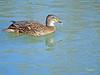 Hembra de Azulón (Anas platyrhynchos) (8) (eb3alfmiguel) Tags: aves acuaticas anade azulon hembra