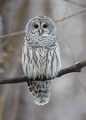 Chouette rayée - Strix varia - Northern Barred Owl (Anthony Fontaine photographe animalier) Tags: