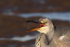 Grey Heron (Chris B@rlow) Tags: ardeacinerea greyheron heron herons britishbirds ukbirds bird birds nature wildlife holyisland northumberland lindisfarne canon7d sigma150600