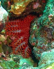 crown of thorns (Carpe Feline) Tags: carpefeline mauritius scubadiving ocean reefs morayeels anemonefish scorpionfish lionfish arrowcrab nudibranch needlefish underwater