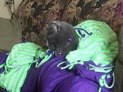 The cat. All tucked in. (tenhourclock) Tags: blanket pets pet graycat greycat cat