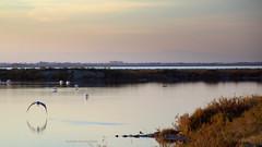 L'O sauvage (Dominique Dumont Willette) Tags: oiseauxsauvages oiseauxdemer étang marais camargue paca flamandsroses ciel rose rivages