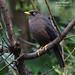 Sooty Thrush, Turdus nigrescens