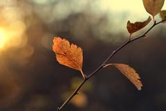 gratitude (joy.jordan) Tags: leaves branch autumn sunset light texture bokeh gratitude thanksgiving