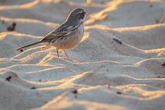 Sagebrush Sparrow-8775G (Paul*Nelson) Tags: michigan michigansupperpeninsula sagebrushsparrow sparrow up upperpeninsula whitefishpoint bird rarebird
