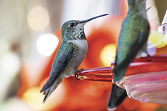 chilln' at the feeder (apg_lucky13) Tags: jdc jasdaco nikon d3300 california usa nikkor 55300mmvr nikonafsnikkor55300mmf4556gedvr 300mm vr f8 bird birds wing beak hummingbird feeder talons talon feathers outdoors chilln resting rest respit red yellow green