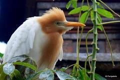 DSC07322 (Peripatete) Tags: bali ubud petulu nature birds travel tourism