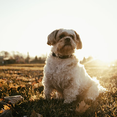 46/52 - Portrait: Backlit (Stately Pose) (Ben Aerssen) Tags: shihtzu dog posed posing pose autumn backlit sun flare morning light warm attentive brown white maple outdoors field leaves grass eyes snout ears paws body sky dogwoodweek46 dogwood52 pet animal outdoor