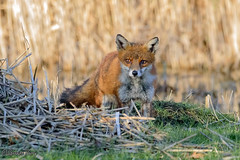 Fox (parry101) Tags: cardiff whitchurch forest farm south wales fox foxes animal animals vulpes vulpesvulpes red nature wild redfox outdoor
