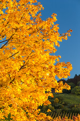 Goldener Oktober (Gerosas) Tags: fellbach goldeneroktoberherbst oktober remsmurrkreis weinberge baum herbstfarben laub