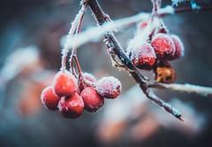 Some sugar, honey? (Stadt_Kind) Tags: flickrdiamond germany bavaria kempten stadtkind getolympus olympusem10markii olympusm124028pro morning frost winter depthoffield dof doflicious bokehmasters bokehaddicts bokehlicious bokeh beere rot red berry berries