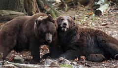 brown bear Ouwehands JN6A6801 (j.a.kok) Tags: beer bear bruinebeer brownbear ouwehands ouwehandsdierenpark ouwehandszoo igor