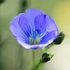 Fleur de lin (*Chantal) Tags: fleurs flowers france