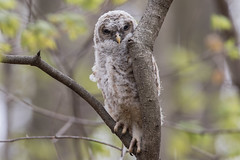 Barred Owl (owlet 2 of 3) (Jeremy Meyer) Tags: barredowl barred owl owlet bird