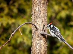 Male Downy Woodpecker (Rick Cleland) Tags: downey woodpecker yard