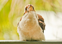 Laughing kookaburra (9 of 11) (Daniela Parra F.) Tags: kookaburra aves bird birds australia queensland birdsofaustralia wildlife wildbirds naturaleza nature silvestres avessilvestres