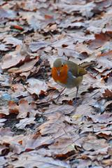 Swallow Falls (Lord Edam) Tags: water river waterfall trees cascase llugwy theadr ewynnol robin bird leaves autumn