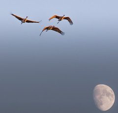 cranes over the moon (otgpics) Tags: crex meadow fish lake wildlife areas northwestern wisconsin sandhill cranes rising moon waxing fall sunset