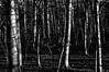 16-381 (lechecce) Tags: 2016 nature blackandwhite netartii artdigital sharingart awardtree shockofthenew trolled