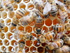 closeup macro of worker bees working on uncapped unripe honeycomb (low quality) (nicephotog) Tags: closeup macro capped uncapped unripe honey cell european honeybee bee apis mellifera comb brood hive beehive