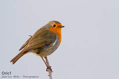 Rouge-gorge (Oric1) Tags: 150600 22 canon ctesdarmor france plvenon tamron armorique bird breizh bretagne brittany capfrehel eos oiseau robin rougegorge