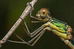 Emerald Damselfly  (Rinaldo R) Tags: chalcolestesviridis lestes lestidae odonata insect nature closeup macro canon6d canonmpe stacking damselfly dragonfly manolibera handheld sardinia focusstacking fieldstack