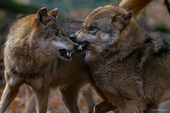 Wolf (Timo Warnken) Tags: wolf aggressiv dominanz zhne lefzen drohung aggressively dominant teeth lament threat