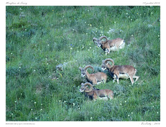 Mouflons du Sancy (BerColly) Tags: france auvergne puydedome mammiferes mammales mouflon sancy montagne mountain rocher rocks ete summer bercolly google flickr