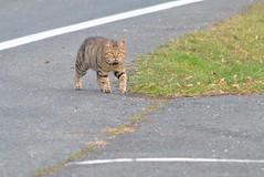 Le petit tigre... (Claudia Sc.) Tags: cat chat tigr regard animal flin yeux eyes