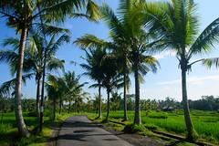 Arrozales en los alrededores de Ubud (fns-k) Tags: agricultura arroz asia bali campo campos carretera cereales cultivos españa europa gusto indonesia islasbaleares mallorca palmera sentidos transporteterrestre planta árbol