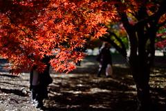 Red Season (Minami45) Tags: xpro1 fujifilm xf35mm maple japanesemaple autumnleaves red japan tokyo