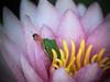 Got it - frog catches fly (Petra Ries Images) Tags: kodakanastigmat63mmf27 frog frosch fly fliege catch fangen toung zunge vintagelens adapedlens flower blume blüte lotus lotos lotosblume lotusblume green pink