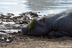 D8E_28_05187 - You´ll need good sunglasses as a hippo... (EWB Fotodesign ッ) Tags: hippo nilpferd southafrica nikon wildlife ngc nikond800e d800e nikonafs28300mm13556gedvr ewbfotodesign thegalaxystars thegalaxy groupecharlietitanium groupecharlie the galaxy stars