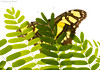 Peek-a-boo... (Glenn van Windt) Tags: siproetastelenes lepidopterarhopalocera butterfly vlinder tropicalbutterfly macro closeup insect butterflygarden vlindertuin artiszoo malachitebutterfly malachietvlinder sigma180mm128apomacrodghsm