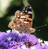 """Painted Lady at Caesarea Maritima, Israel."" by Michael Khor"